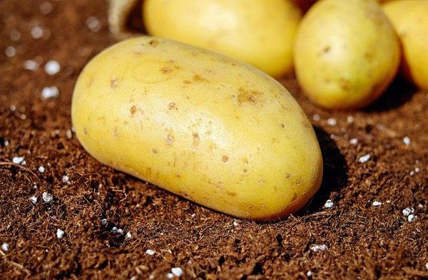 Las patatas. Cultivo, cosecha y recolección
