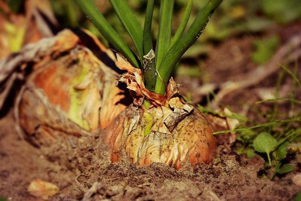 cultivar-sembrar-cebollas-preparación-terreno