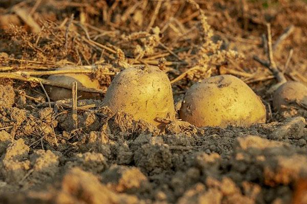 cultivo-siembra-recolecion-patatas