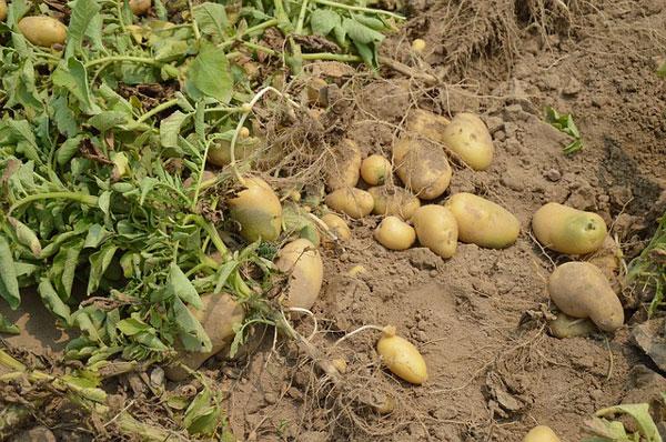 recoleccion-de-las-patatas