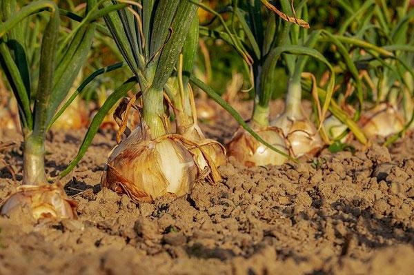 terreno-sembrar-cultivar-cebollas